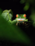 Red eyed frog in Costa Rica. At night Royalty Free Stock Photography