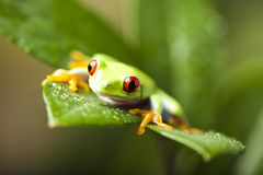 Red eyed frog green tree Stock Image