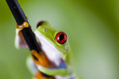 Red eyed frog green tree Royalty Free Stock Image