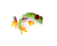 Red eyed frog on paper. Young red eyed tree frog isolated on a white page Royalty Free Stock Photography
