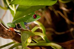 Nice frog in the jungle. Red-eyed frog in the rainforest sitting on the branch Royalty Free Stock Photography