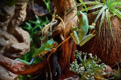 Red-eyed frogs in the terrarium. Two red eyed frogs playing in the nice tropical terrarium Royalty Free Stock Images