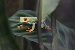 Red-eyed green tree frog Royalty Free Stock Photography