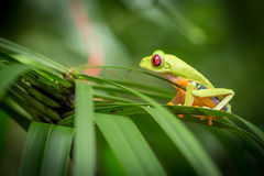 Red Eyed Green Tree Frog Stock Images