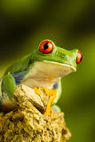 Red-eyed Green Tree Frog (Agalychnis callidryas) Stock Images