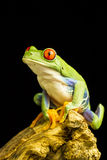 Red-eyed Green Tree Frog (Agalychnis callidryas) Stock Photography