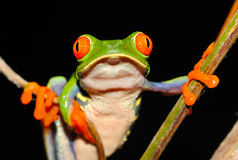 Red eyed green tree frog,costa rica Stock Photography