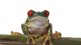 Red-eyed green tree frog. Seated on branch breathing stock footage