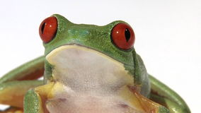 Red-eyed green tree frog. On white surface stock footage