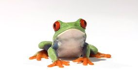 Red-eyed green tree frog. On white surface breathing stock video