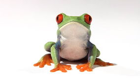 Red-eyed green tree frog. On white surface breathing stock footage