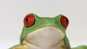 Red-eyed green tree frog on white surface breathing. Zoom out on Red-eyed green tree frog on white surface breathing stock video footage