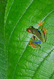 Red eyed green tree leaf frog,costa rica. Beautiful colorful red eyed green tree or gaudy leaf frog Agalychnis callidryas on vibrant green plant, lake arenal Stock Image