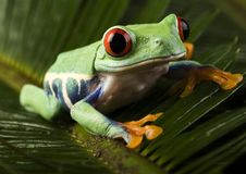 Red eyed leaf frog Royalty Free Stock Image