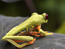 Red-Eyed Leaf Frog. Red-Eyed Frog Agalychnis callidryas stock photo