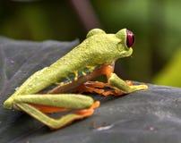 Red-Eyed Leaf Frog. Red-Eyed Frog Agalychnis callidryas royalty free stock image