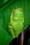 Red eyed leaf frog Stock Images