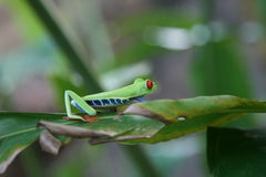 Red-eyed leaf frog Stock Photography