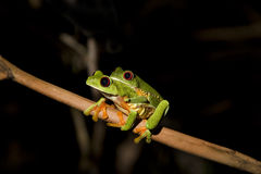 Red-eyed Leaf Frog VIII Royalty Free Stock Image