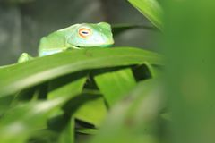 Red-eyed madagascar frog. On the leaf Stock Photography