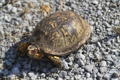 Red Eyed Male Eastern Box Turtle Terrapene carolina carolina. This is a Eastern Box Turtle, Terrapene carolina carolina. The males have red eyes. This one was in stock images