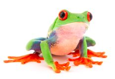 Red eyed monkey tree frog, Agalychnis callydrias stock photography