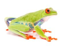 Red eyed monkey tree frog, Agalychnis callydrias. A tropical rain forest animal with vibrant eye isolated on a white background stock image