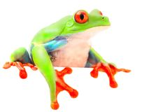 Red eyed monkey tree frog. From the tropical rain forest of Costa Rica and Panama. A curious funny animal with vibrant eyes looking over isolated on a white royalty free stock photography