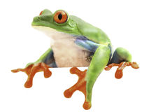 Red eyed monkey tree frog. From the tropical rain forest of Costa Rica and Panama. A curious funny animal with vibrant eyes looking over isolated on a white stock images