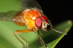 Red eyed orange fly close up Stock Images