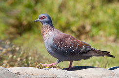 Red Eyed Pigeon Stock Photography