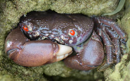 Red-eyed reef crab - Eriphia ferox. In stone hole close up Royalty Free Stock Images
