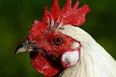 Red-eyed rooster closeup. Closeup rooster selective focus with empasis on eye beak and red comb Stock Image