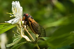 Red eyed seventeen year cicada Royalty Free Stock Photography