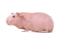 Red-Eyed Skinny Guinea Pig Stock Photo