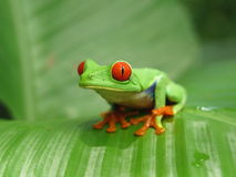 Red eyed smiling green tree frog on the leaf. Red eyed tree frog is an exotic tropical frog from the jungle and rain forest of Central America (Costa Rica Royalty Free Stock Photography