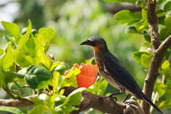 Red eyed starling on a branch stock images