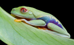 Red-eyed tree fast asleep. A baby red-eyed tree frog is sleeping on a leaf Stock Photos