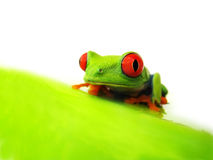 Red-eyed tree frog (128), Agalychnis callidryas. Red-eyed tree frog,  Agalychnis callidryas Stock Photo