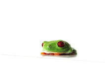 Red-eyed tree frog (131), Agalychnis callidryas. A red eyed tree frog is sitting on a white underground with white background, Agalychnis callidryas Stock Photo