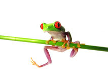 Red-eyed tree frog (133) Agalychnis callidryas Stock Photos