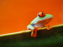 Red-eyed tree frog (134), Agalychnis callidryas. A red-eyed tree frog is sitting on a green sanseviera leaf with red orange background, Agalychnis callidryas Royalty Free Stock Photos