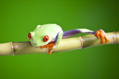 Free Red Eyed Tree Frog Royalty Free Stock Image - 13764766