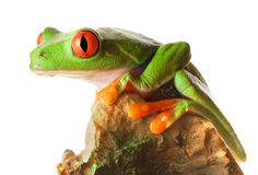 Red Eyed Tree Frog. Portrait of a red eyed tree frog sitting on a rock Stock Images