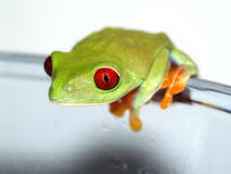 Red-eyed tree frog (153), Agalychnis callidryas Stock Photo