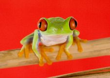 Red eyed tree frog. Frog - small animal with smooth skin and long legs that are used for jumping. Frogs live in or near water. / The Agalychnis callidryas Royalty Free Stock Images