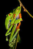 Red-eyed tree frog royalty free stock image