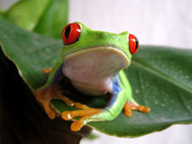 Red-eyed tree frog 2. A red eyed tree frog is sitting on a green leaf Stock Images