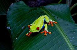 Red eyed tree frog. A beautiful red eyed tree frog stalks his next meal Royalty Free Stock Photos