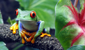 Red-Eyed Tree Frog. A colorful Red-Eyed Tree Frog (Agalychnis callidryas) sitting along a vine in its tropical setting Stock Images